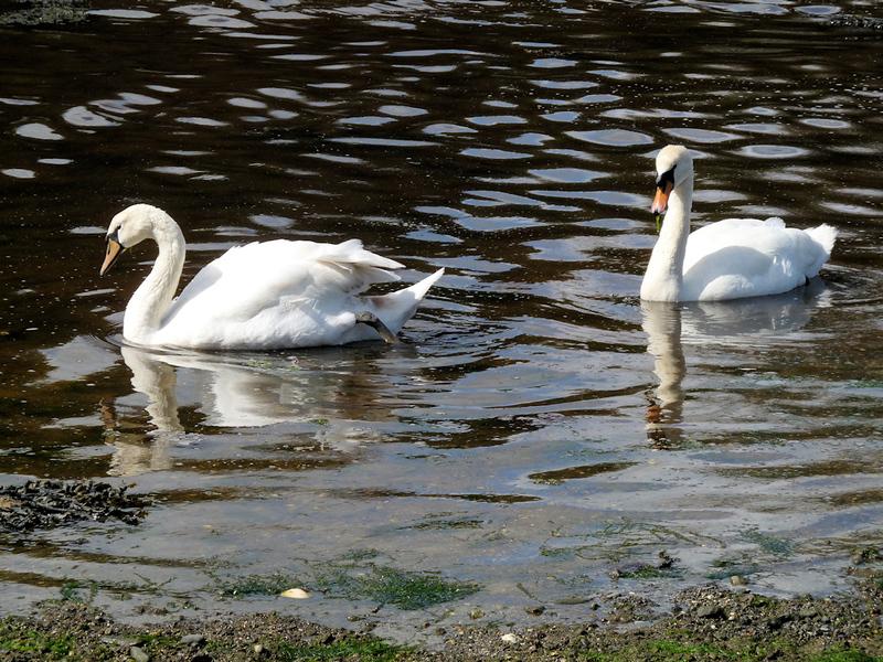Swans, Gillian Creek