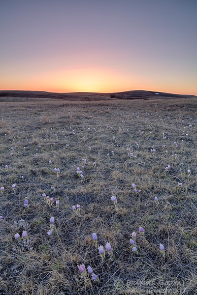Native prairie with crocuses at sunset. Fairview PFRA community pasture, Saskatchewan