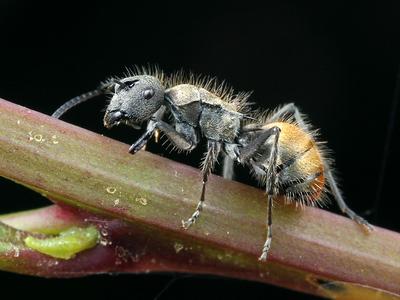Polyrhachis (Hagiomyrma)