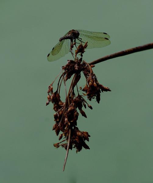 Four-spotted Chaser, Libellula quadrimaculata. UK 2009 ak