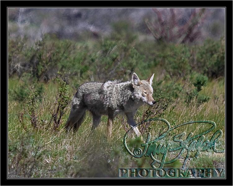 RMNP Coyote May09--2271.jpg