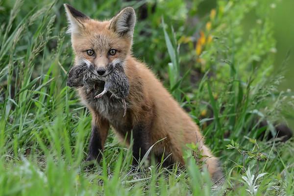 6-9-17 Red Fox Pups Album 1/3