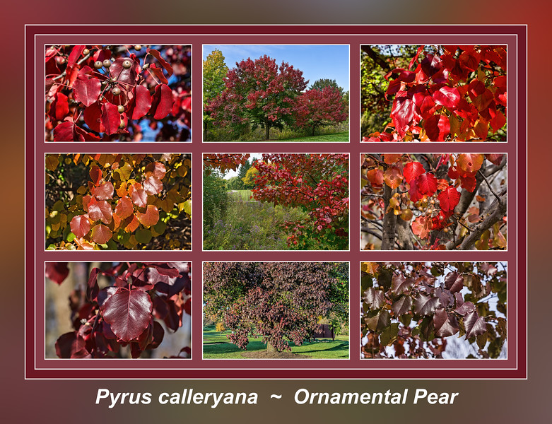 Fall primer:  Pyrus calleryana, ornamental pear trees