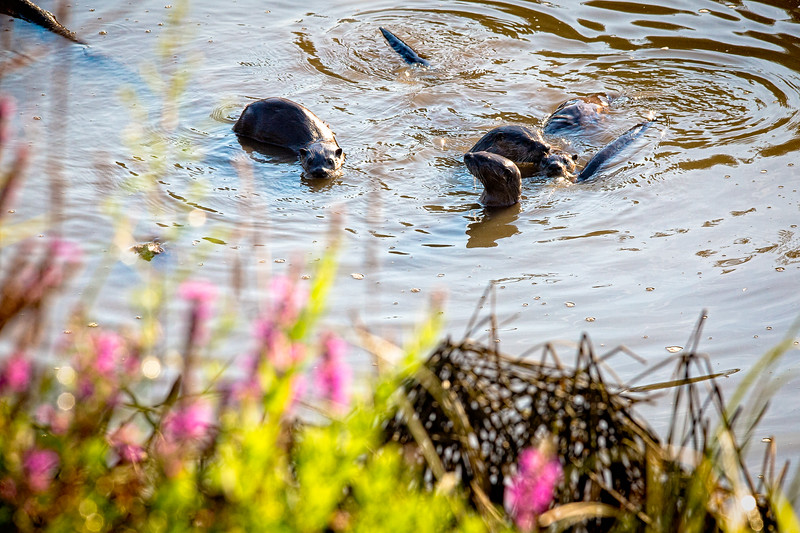 River otters play and eat at Spencer Island Park, Everett.