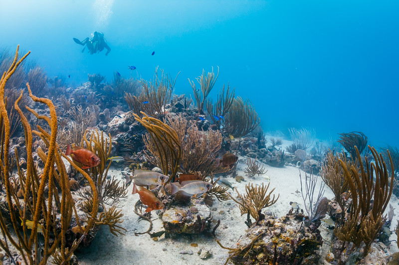 Glasseye Snapper, Blue Chromis, Grunts, and a wide variety of sponges and corals in Culebra, Puerto Rico