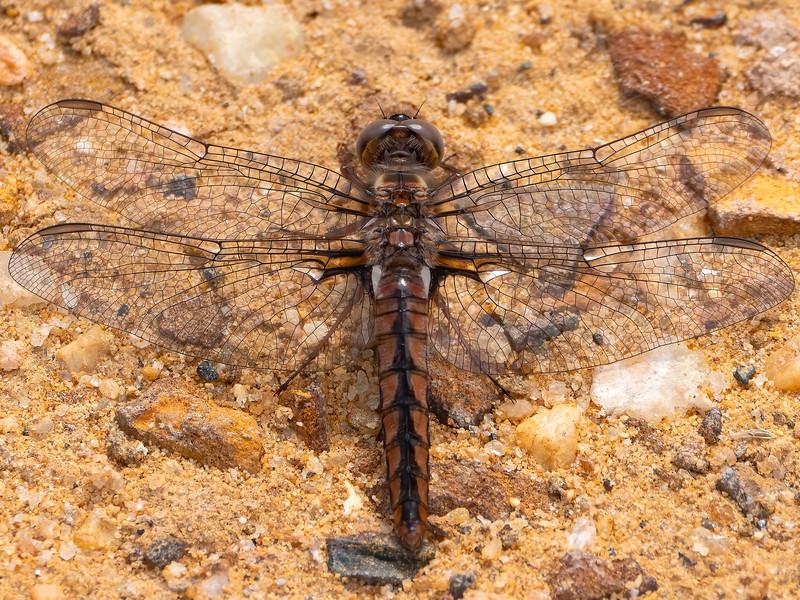 Blue Corporal (Ladona deplanata), female