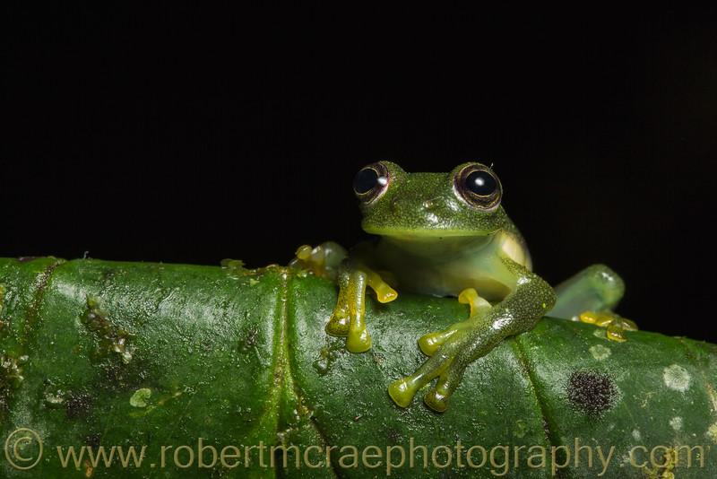 Emerald Glassfrog