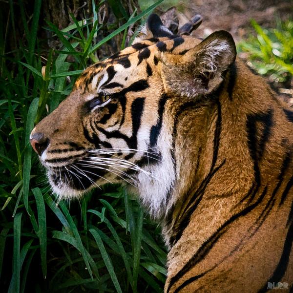 tiger 002.jpg
