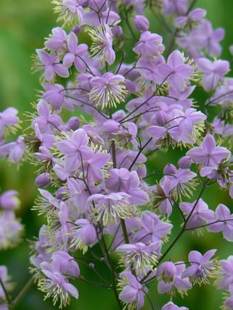 Thalictrum rochebruneanum.jpg