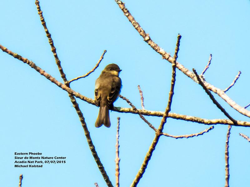 a706 640 20150725_166 3T Eastern Phoebe Sieur de Monts Nature Center Acadia Nat Park 707 849.jpg