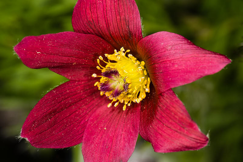Pasque Flower, Boothbay Harbor