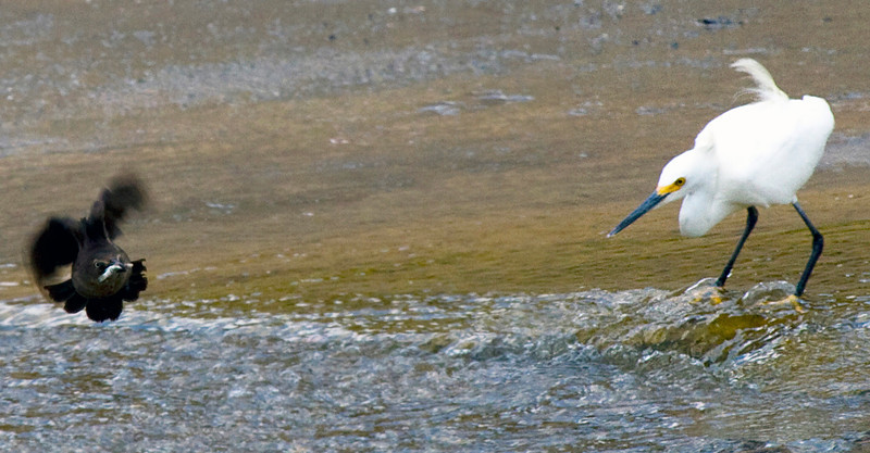 Snowy egret watches a grackle spinning about over Brays Bayou, Houston