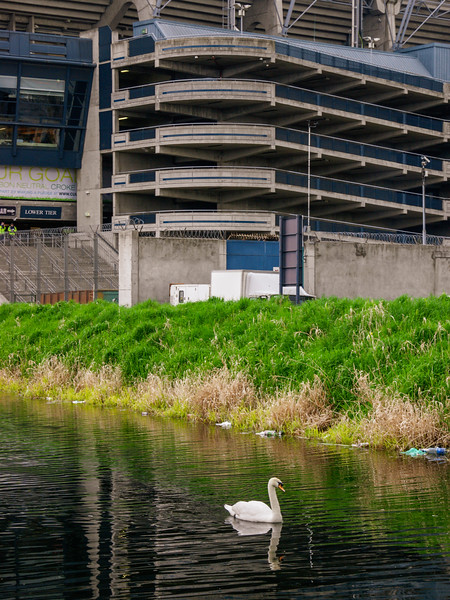 Swan on the Royal Canal at Croke Park