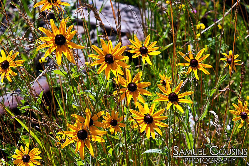Black eyed susans gowning on the railroad tracks.
