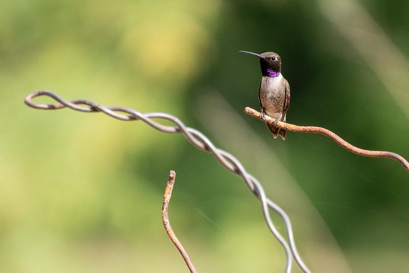 Black-chinned Hummingbird Patagonia-Sonoita Creek Sanctuary TNC southeast Arizona June 6-12 2019DSC01463.jpg