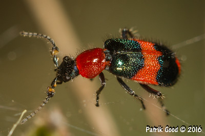 Red-Blue Pollen Beetle
