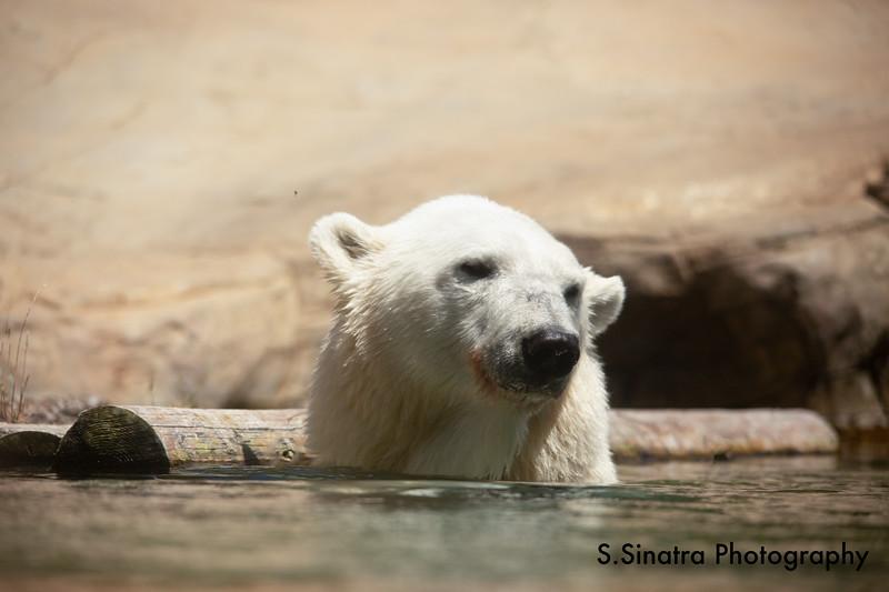 polar bear (21 of 50).jpg