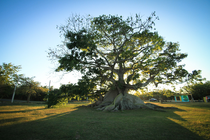 Banyan Tree, Puerto Rico
