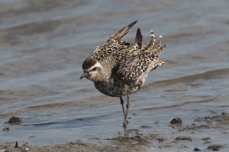 American golden plover fluffing wings