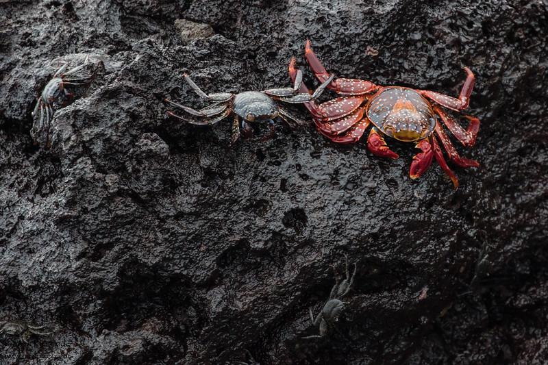 Sally Lightfoot crabs - Galapagos, Ecuador