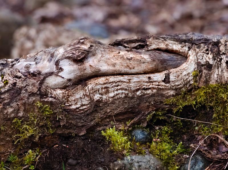 Alligator Root