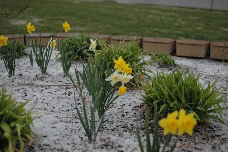 March 15... snow in Alabama amidst the blooming buttercups!