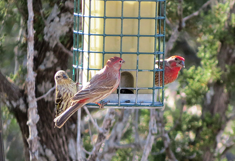 House Finches on feeder.jpg