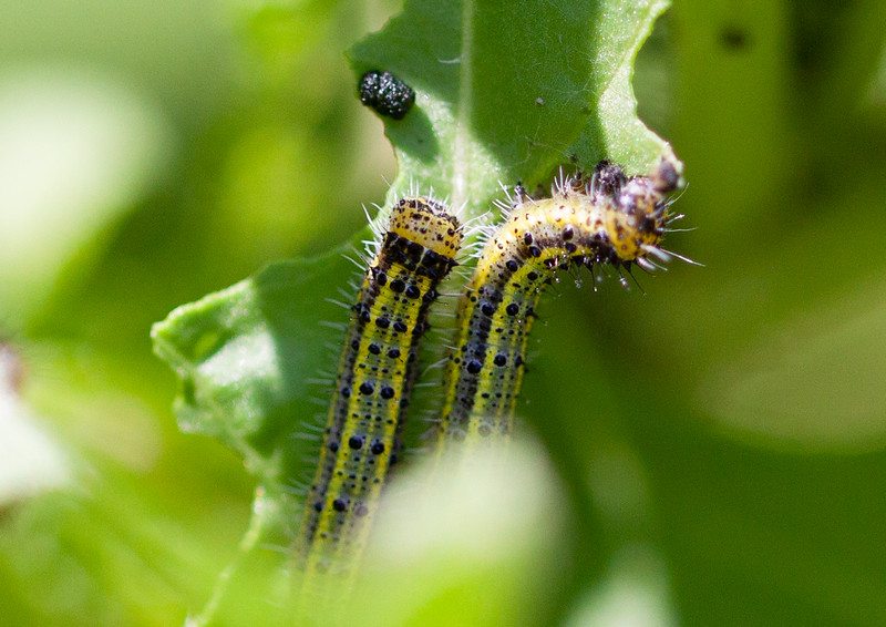 great southern white (Ascia monuste) caterpillars on arugula