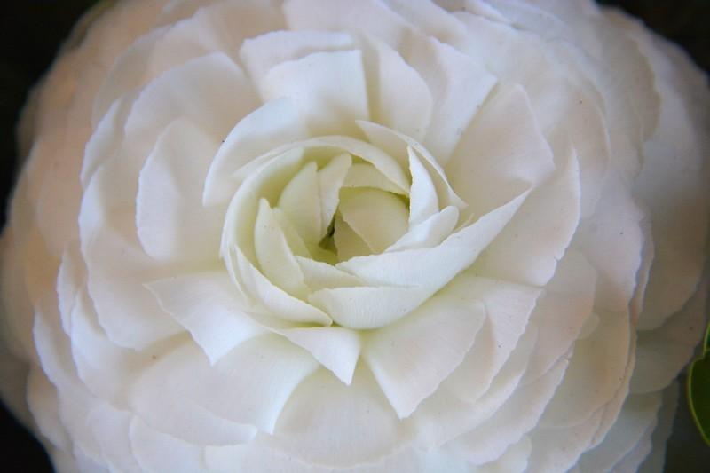 2017 nantucket white rose 6.jpg