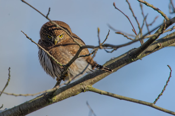 Northern Pigmy Owl