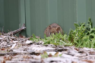 Mount Eliza Kookaburra's and rats!