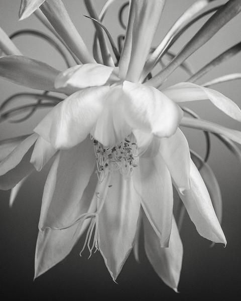 night-blooming orchid cactus