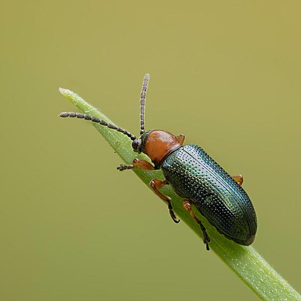 Cereal leaf beetle (Oulema sp)