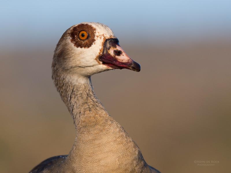Egyptian Goose, Zimanga, South Africa, May 2017-4.jpg