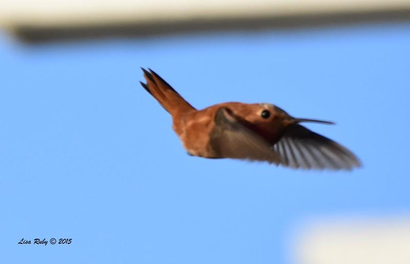 DSC_0218_RufousHummingbird.jpg