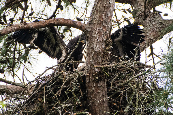 Eaglets Outgrowing the Nest