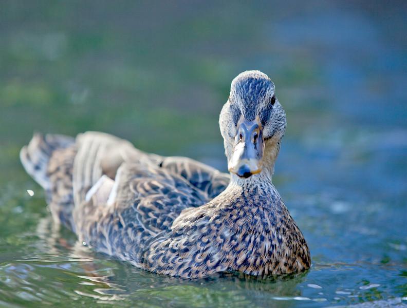 Duck on the Cam in Cambridge_5070372263_o_8178998797_o.jpg