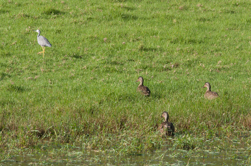 Fowls in Lord Howe Island