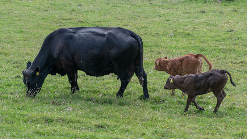 Cow with its young grazing in a field, Ballyferriter, County Kerry, Ireland