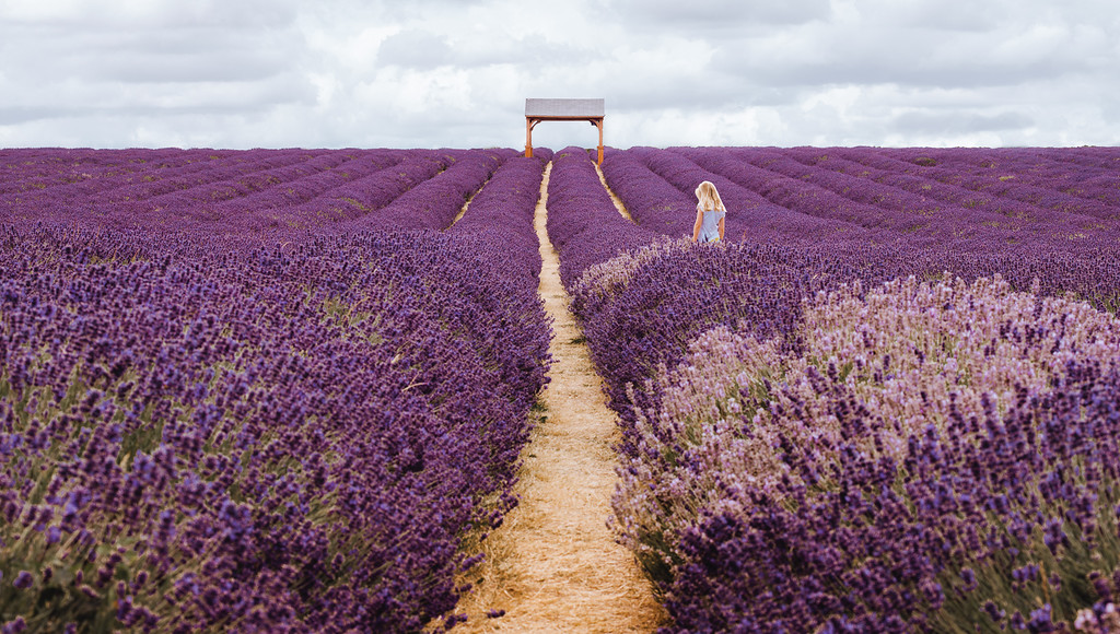 梅菲爾德薰衣草田 Mayfield Lavender Farm by 旅行攝影師張威廉 Wilhelm Chang