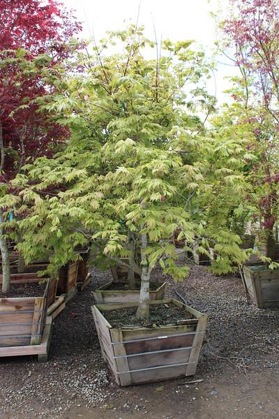 Acer jap. 'Aconitifolium, Specimen 3 in #36 box.JPG
