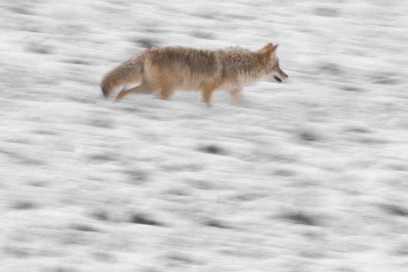 Coyote Run Blur 769_6958.jpg