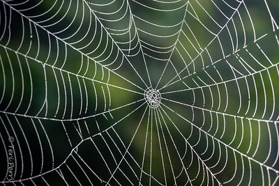 INSECT - spider web-1494