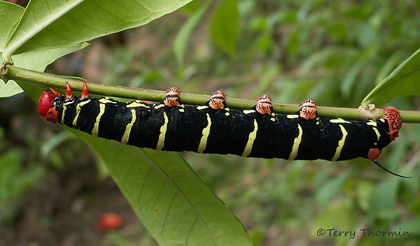 Trinidad and Tobago Insects