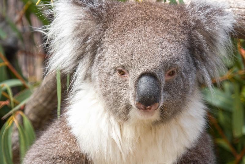 Koala sits in the Eucalyptus, Australia