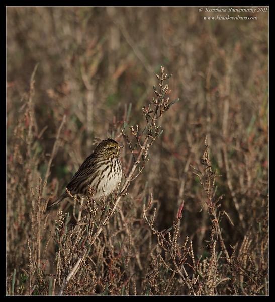 Savannah Sparrow habitat, San Elijo Lagoon, San Diego County, California, February 2011