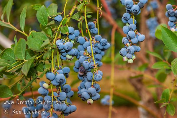 Liberty Blueberry (Vaccinium corymbosum x)