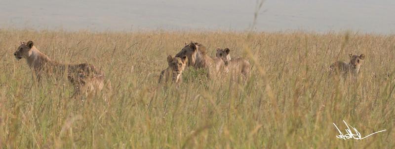 Lions Masai Mara - S-21.jpg