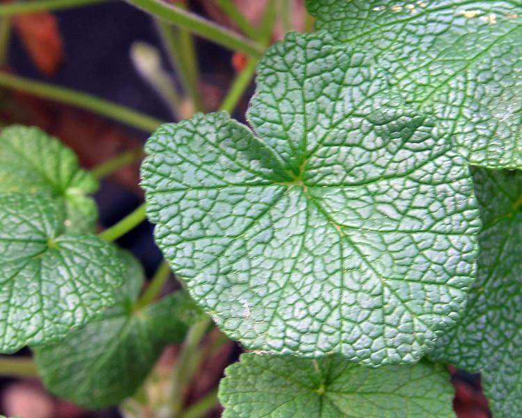 Pelargonium coryledonis leaf