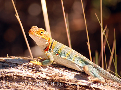 Mesa Verde Lizards and Reptiles